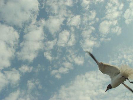 seagullflying.jpg